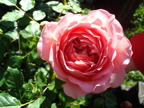 Jubilee Celebration Rose